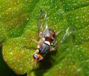 Maschio di Bactrocera oleae