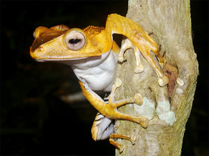 Raganella Polypedates otilophus [foto Nicola Messina]