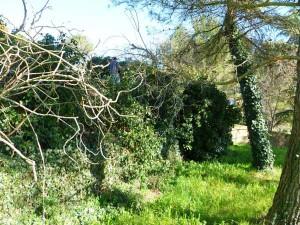 Edera sugli alberi, effetti devastanti
