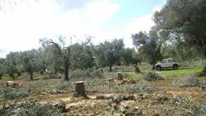 "Abbattimento olivi secolari pugliesi (foto Ass.neS pazi Popolari"""