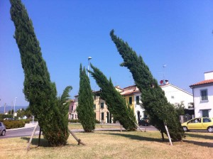 Cipressi piegati nella rotonda di San Rocco, Via Sestini