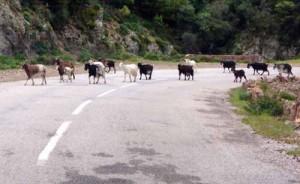 Pecore e capre in strada