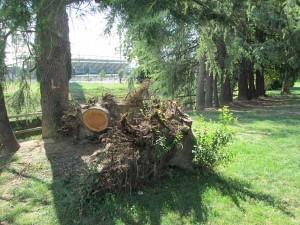 Resti di alberi al Parco della Rana