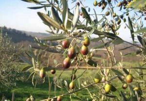 olivi e oliveti