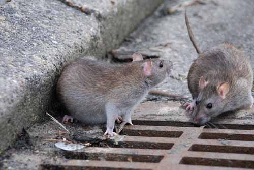 montecatini. PRESENZA DI RATTI IN CENTRO. AMMINISTRAZIONE COMUNALE BATTI UN COLPO!