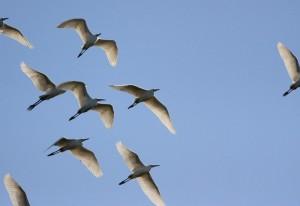Volo di garzette in controluce