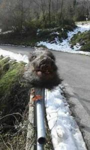 Cinghiale decapitato sul guard rail. E Francesco ci parla di Laudato sì...