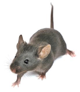 a proposito di topi. PARTURIENT MONTES, NASCETUR RIDICULUS MUS…