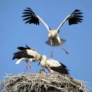 Giovani cicogne sul nido