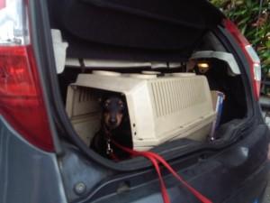 Il pincher nell'auto