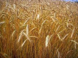 agricoltura. PREZZO DEL GRANO A PICCO