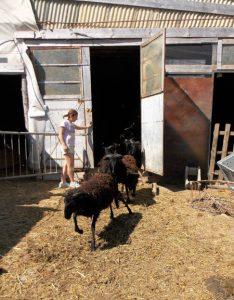 Le pecore massesi