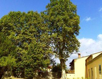 alberi monumentali. MONTEMURLO, PRIMO IN TOSCANA PER NUMERO DI PIANTE CENSITE