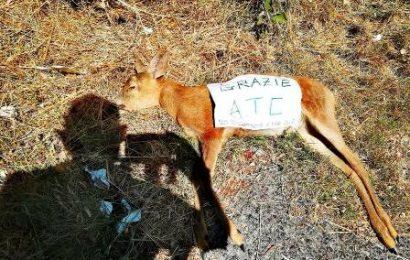BRACCONAGGIO, CAPRIOLO MORTO: UNA PROTESTA CONTRO L'ATC