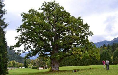 """alberi monumentali. ALLA SCOPERTA DEI """"PATRIARCHI VERDI"""" CON IL CONCORSO FOTOGRAFICO DEL MIPAAF"""